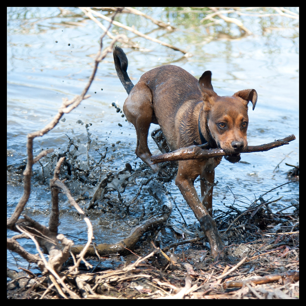 Nelly dog with stick