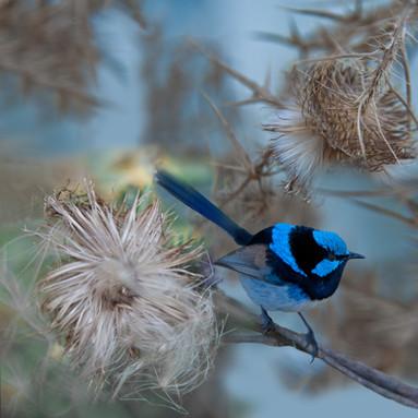 Supurb Blue Wren