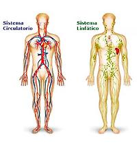 Sistema_linfático_y_circulatorio.png