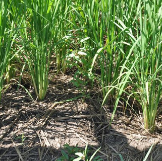 System of Rice Intensification (SRI), System of Crop Intensification (SCI)