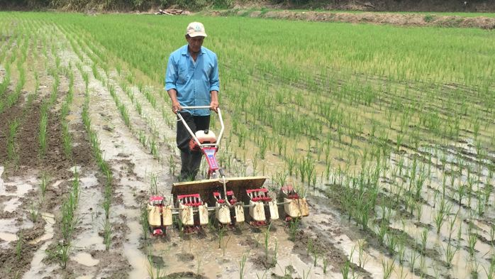 Using multi-row mechanized weeder
