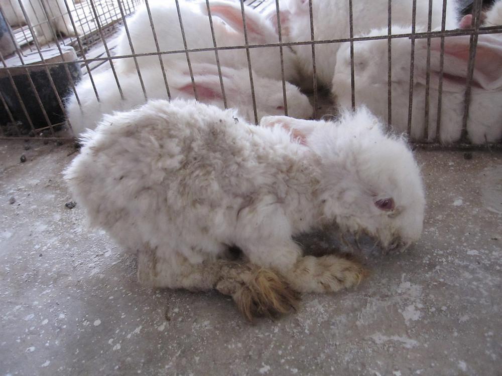 angora rabbit abuse