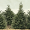 Thumbnail: Placemat - Fir Trees