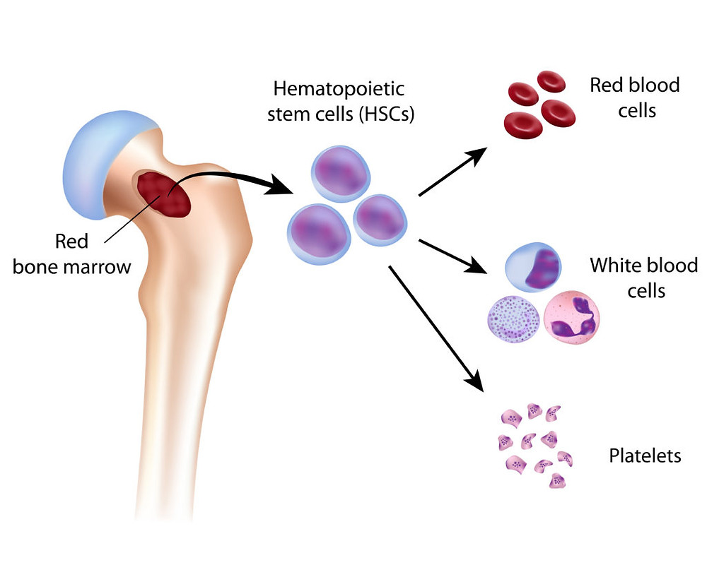 haemoglobin production