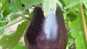 Eggplant Scallop