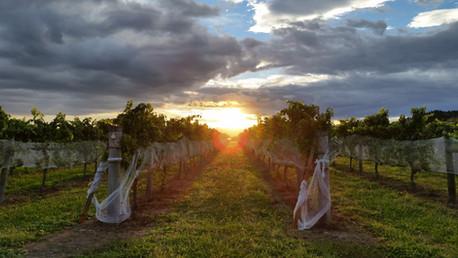Hawke's Bay vineyards ay sunset.