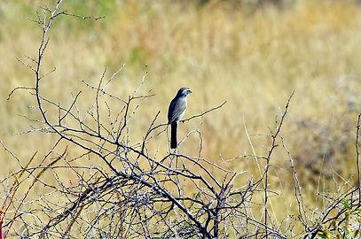 grey-bird-on-bare-thorny-shrub-3937027_9