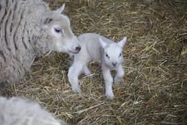 Lamby!.jpg