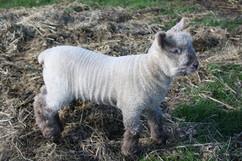 Lamby.jpg