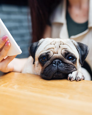 Adorable pug dog sitting in his owner's
