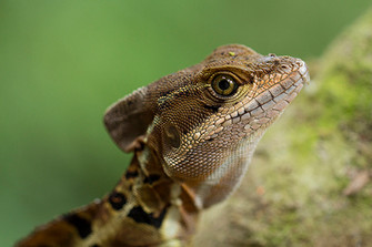 iguana.jpg