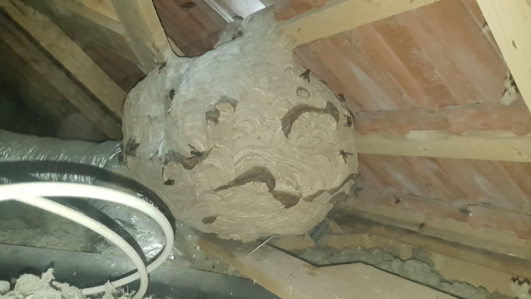 nid de frelons asiatiques sous toiture .