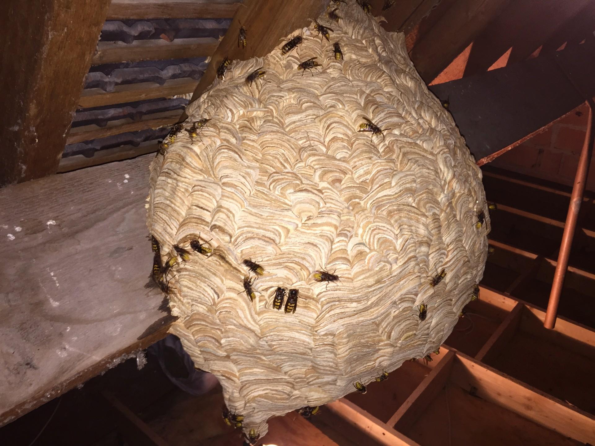 Frelons sous toiture dans l'Eure