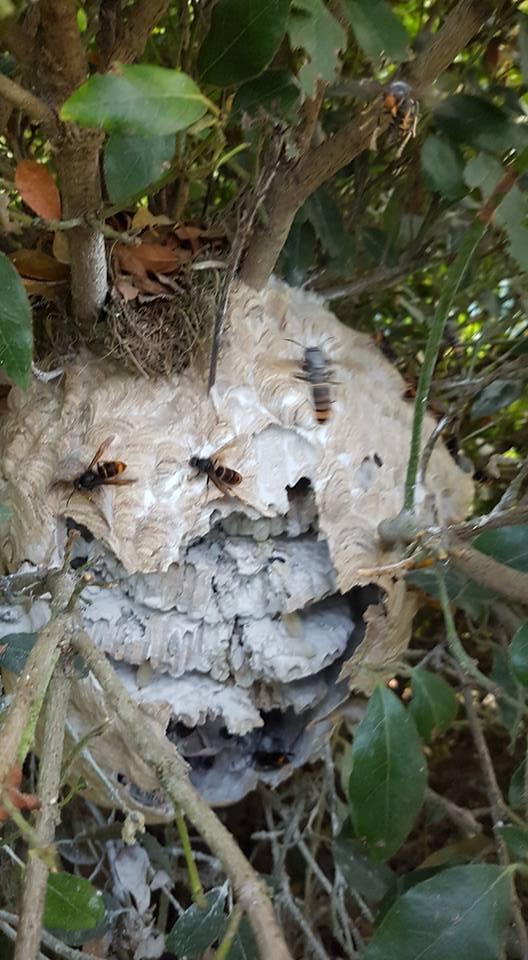 nid frelons asiatique Breteuil