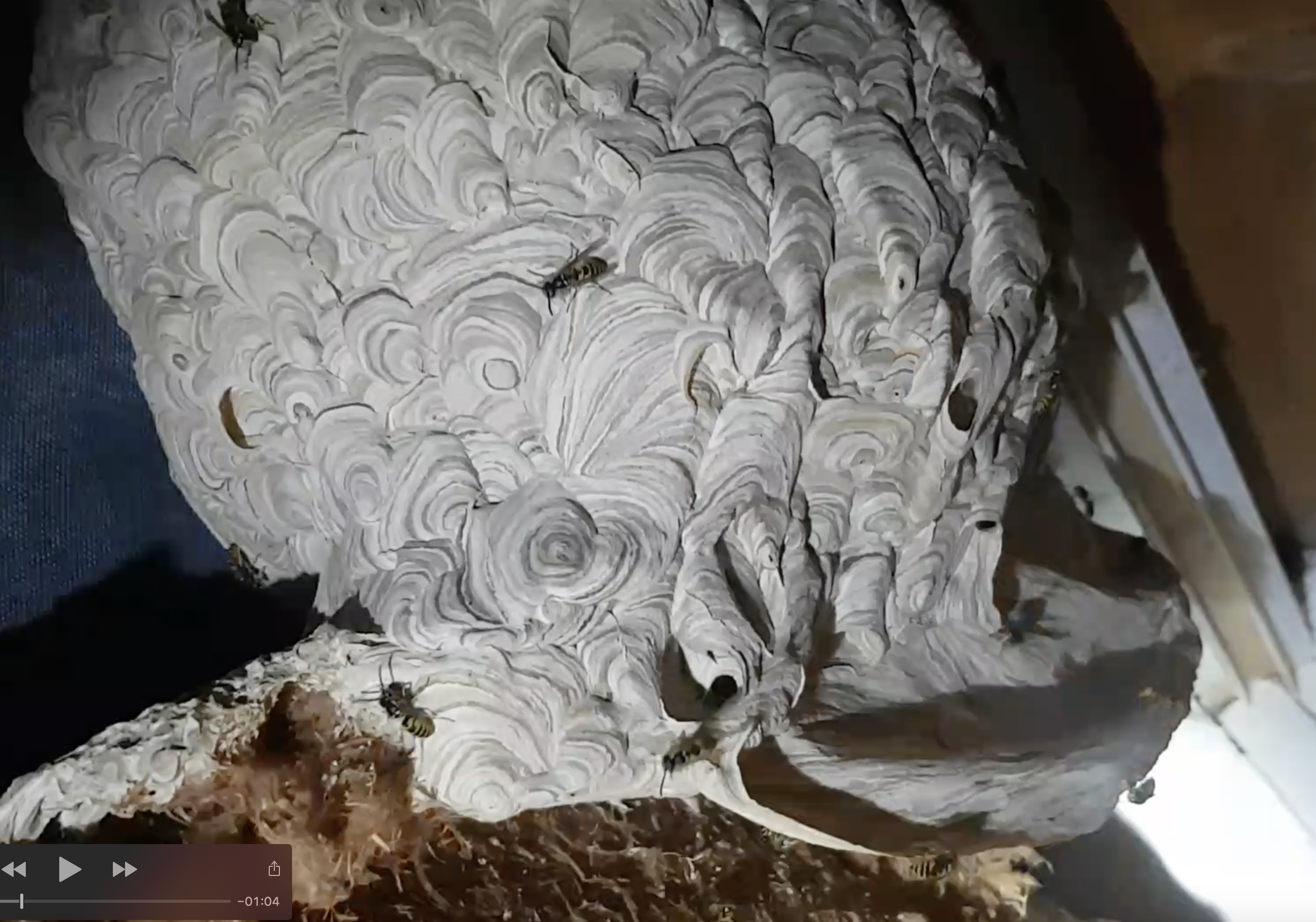 nid de guepes halteauxguepes27