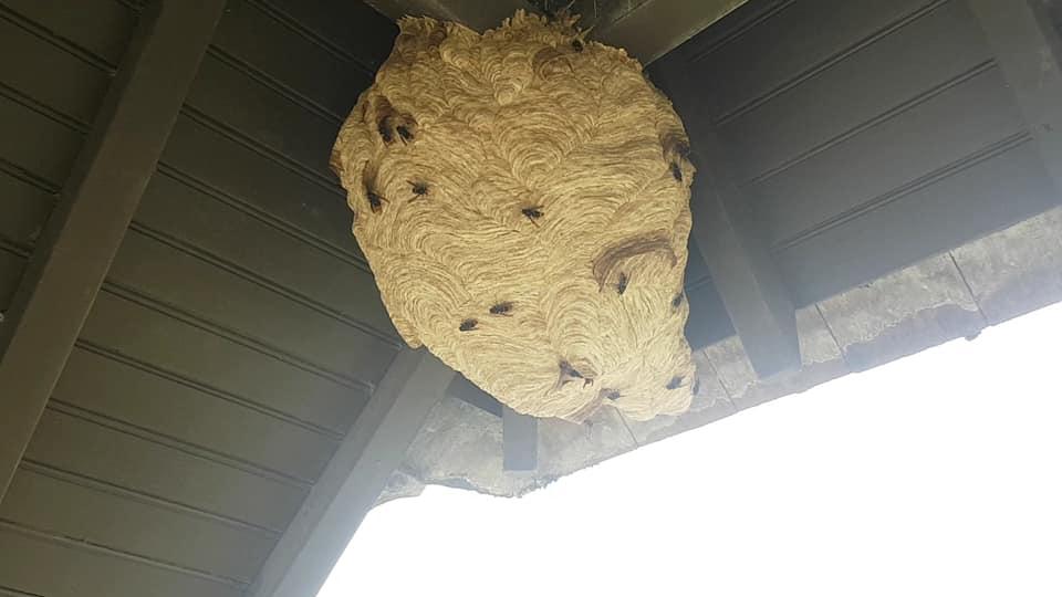enorme nid de frelons asiatiques Guichai