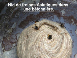 www.kizoa.com_frelonsasiatiqueeure