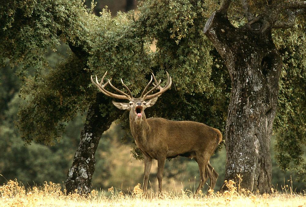 berrea ciervo