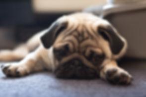 Sad-Pug.jpg