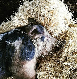 Smith Hall Farm Pig in Straw.jpg