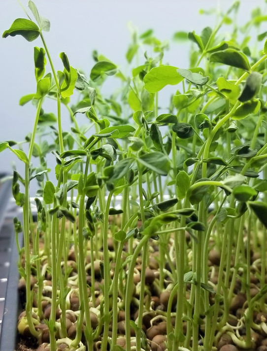 Pea Shoots Ready for Harvest