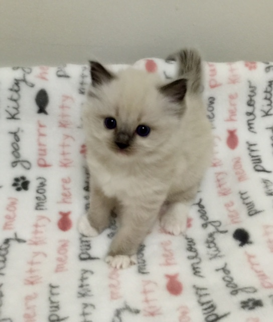Bella - Blue Mitted