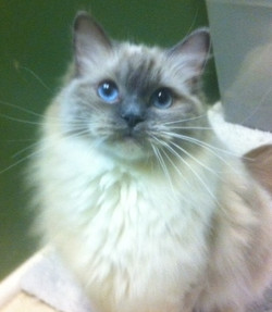 Tinker Belle - Blue Mitted