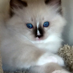 Stefan - Seal Mitted