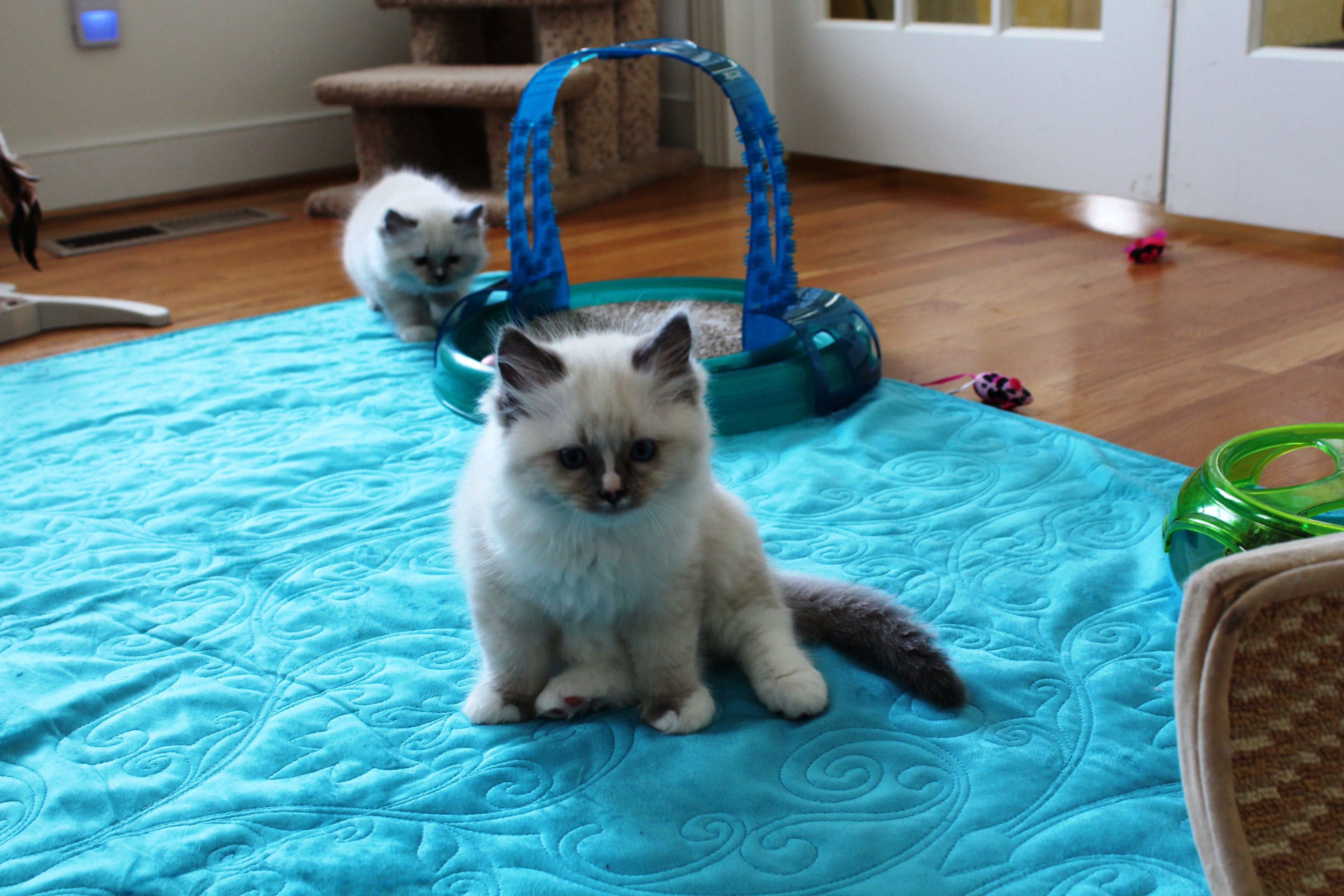 Henry - Blue Mitted