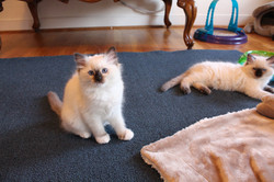 Anna - Seal Mitted
