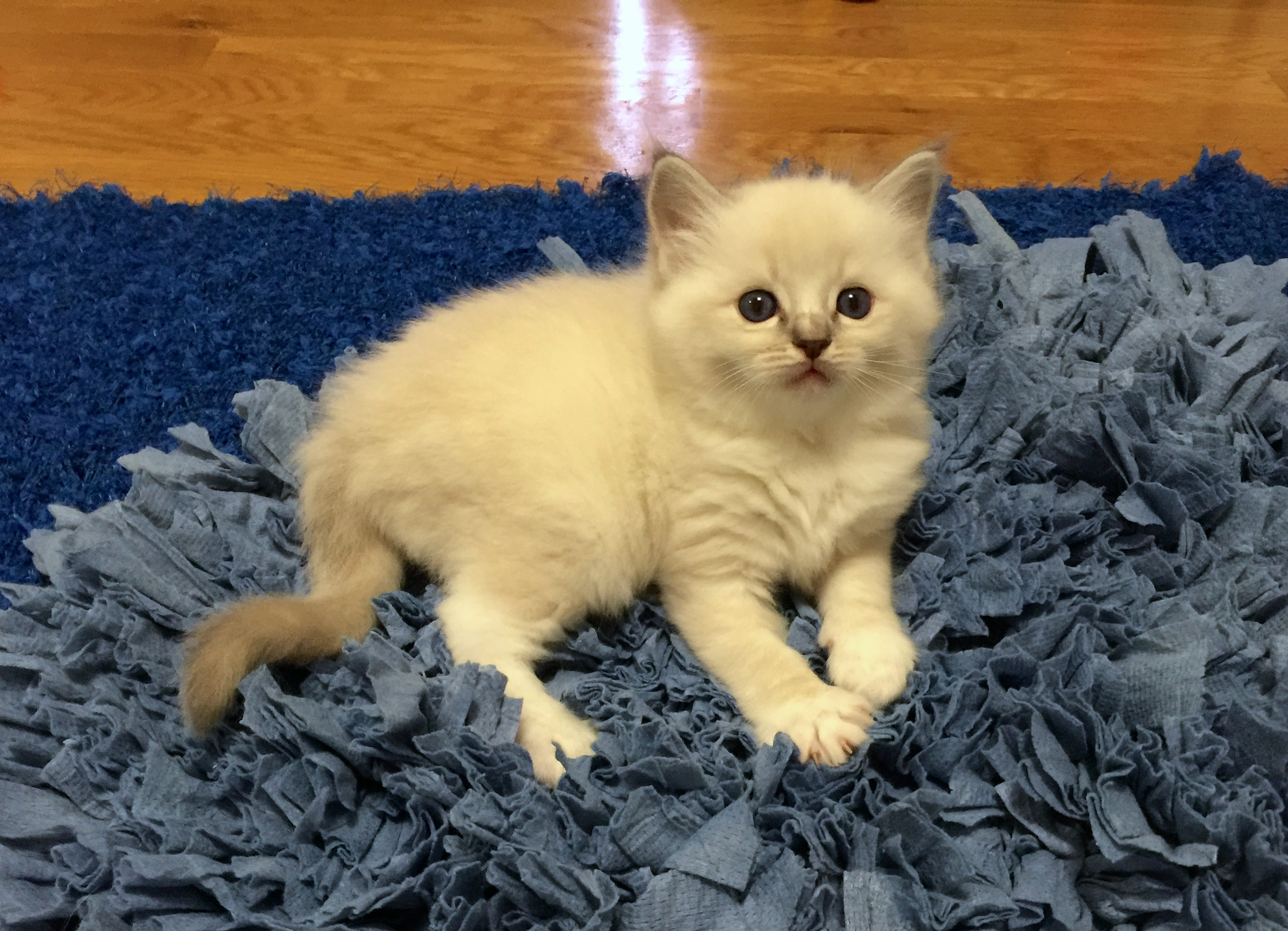 Noah - Blue Lynx Mitted