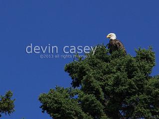 Keeping an eagle eye on the bear