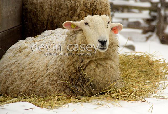 sheep15815.jpg