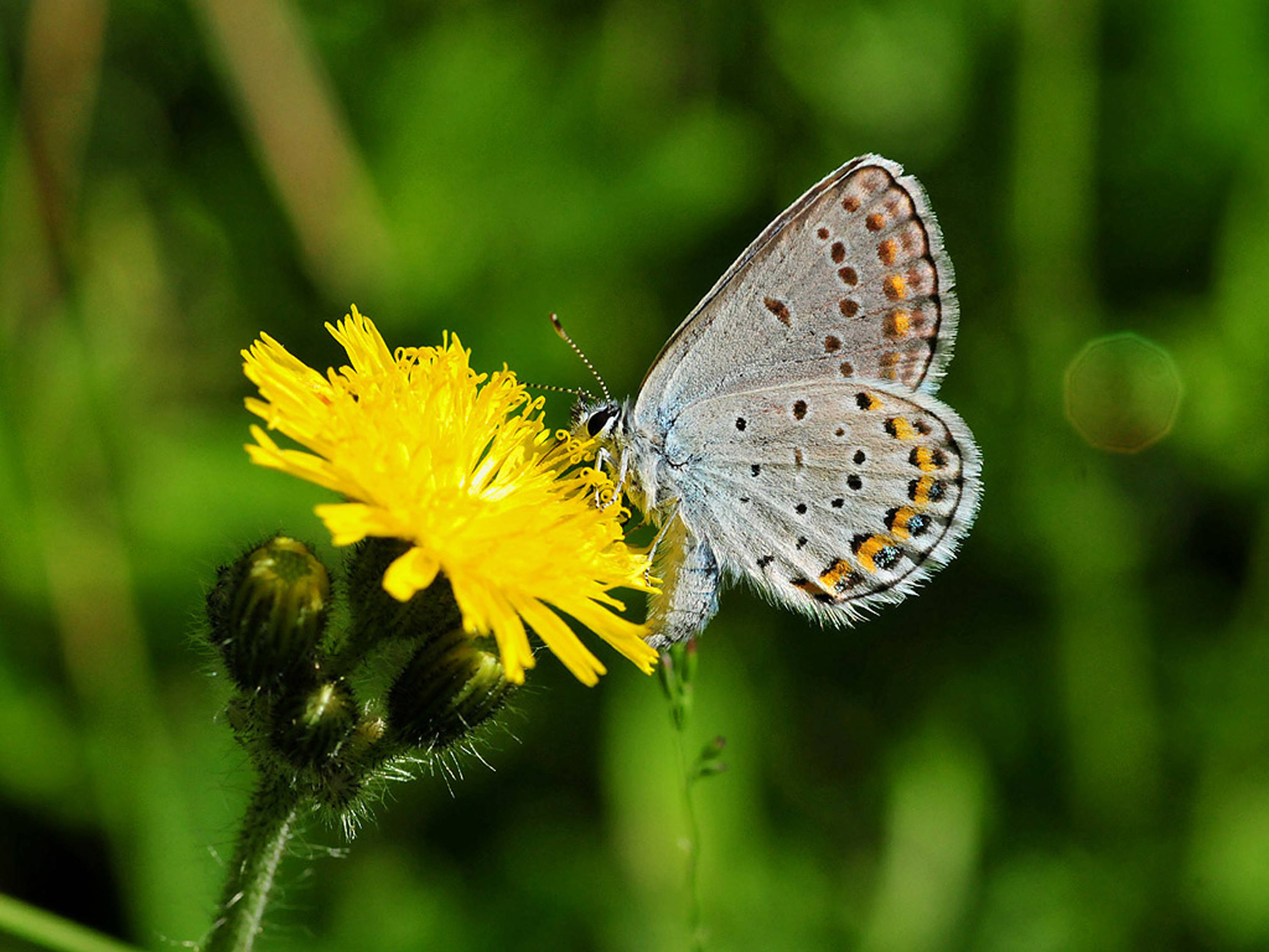 Karner_blue_butterfly_on_hawkweed
