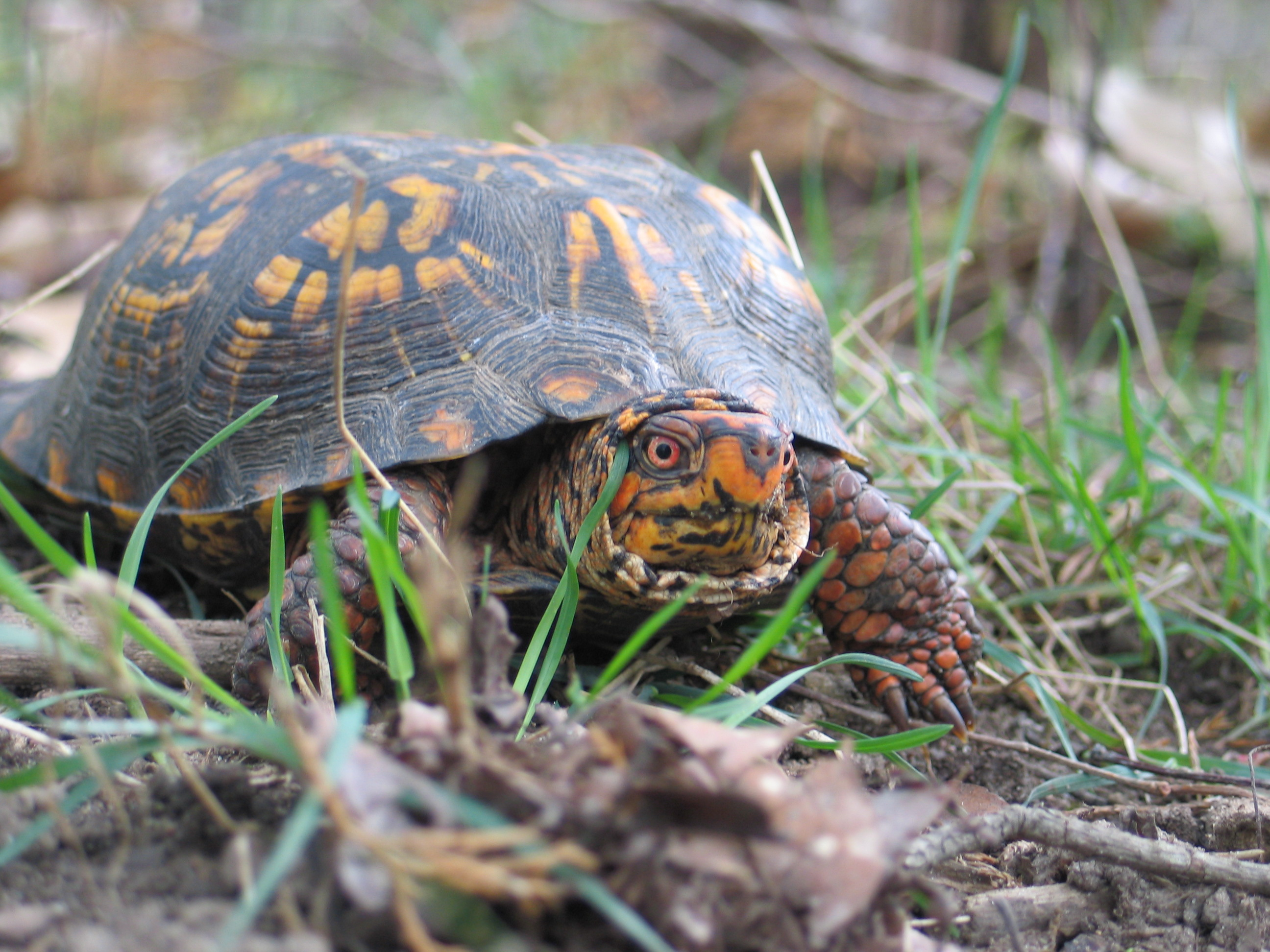 Hoving - box turtle IMG_4120