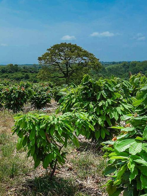Cocoa Farm 500 Saplings