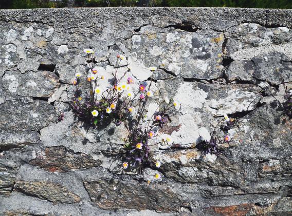 fleurs-du-mur-paquerettes.jpg