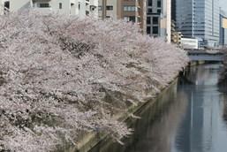 目黒イーストエリア桜まつり2014 (74).jpg