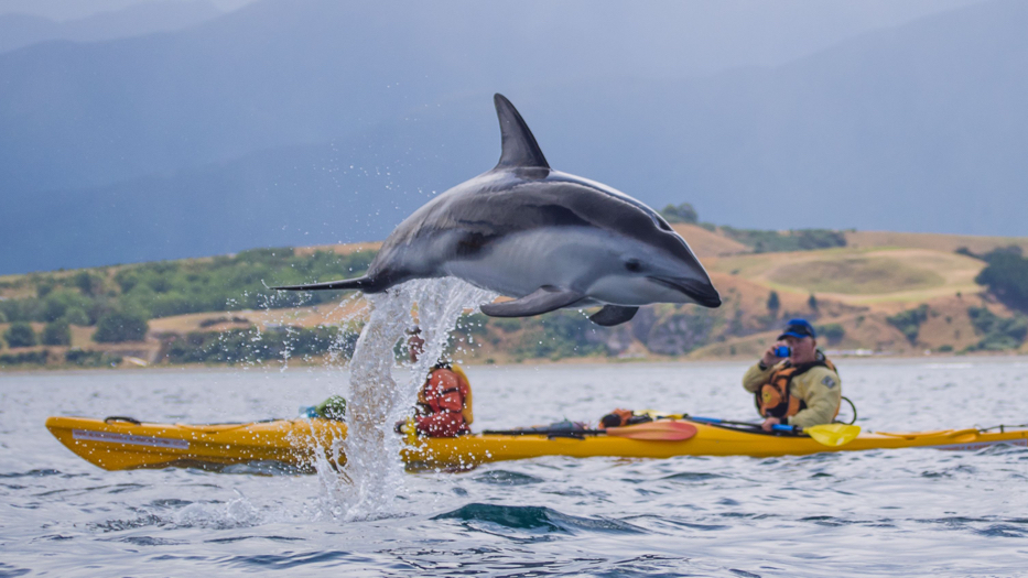 New Zealand Trip Planner | GeoLuxe | dolphin jumping over boaters
