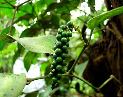 fruit-black-pepper-plant