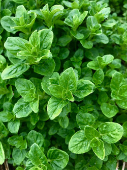 oregano-herb-garden-cooking
