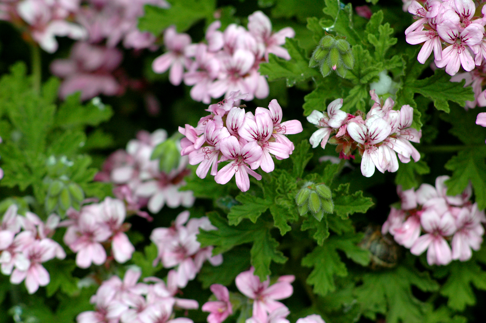Geranium Pelargonium_graveolens_2