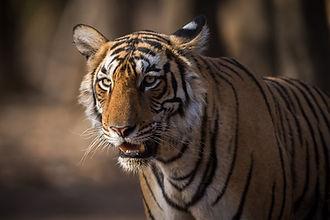 Primi safari incontrando la tigre
