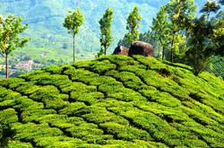 Plantation de thé | Mounar