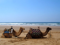 Balade en dromadaire à Essaouira