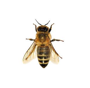 Honeybee_500px_b.jpg