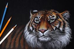Тигр на чёрном фоне
