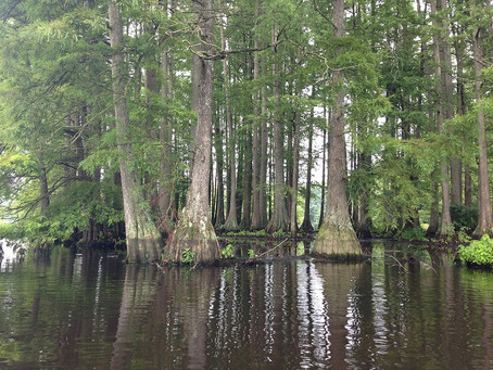 Tree Found in North Carolina is Over 2,600 Years Old