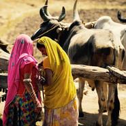 Oxen in village near Udaipur