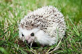 hedgehog-photos-8-622x448.jpg